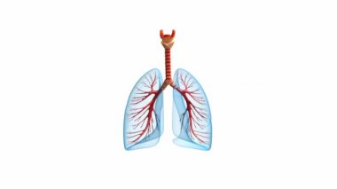 Lungs - pulmonary system. Front view, isolated on white — Stock Video