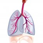 Transtarent human lungs anatomy. — Stock Photo #20582939