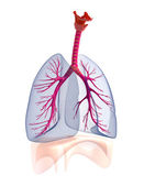 Transtarent human lungs anatomy. — Stock Photo