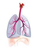Transtarent human lungs anatomy. — Stock Photo