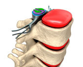 Spinal column with nerves and discs. — Stock Photo