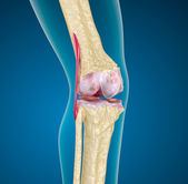 Human knee joint. — Stock Photo