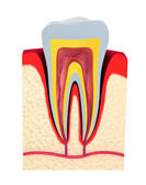 Section of the tooth. pulp with nerves and blood vessels. — Stock Photo