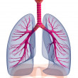 ������, ������: Human lungs and bronchi isolated