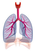 Human lungs and bronchi , isolated — Stock Photo