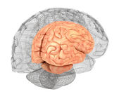 Human brain and 3D model — Stock Photo