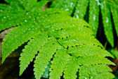 Detail of a beautiful green leaf of Water Droplets on Fern — Stock Photo