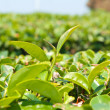 Tea leaves on plantation, thailand — Stock Photo