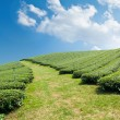 Stock Photo: Green tefarm on hillside