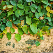 Ficus pumila on old plaster walls — Stock Photo