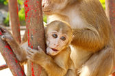 Scimmia madre tiene il suo bambino nel giardino zoologico — Foto Stock