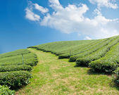 Green tea farm on a hillside — Stock Photo