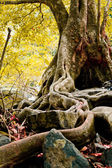 The roots of the trees are located on the Stone — Stock Photo