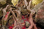 The roots of the trees are located on the Stone — Photo