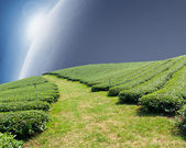 Green tea farm on a hillside — Stock Photo