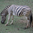 Zebra eating grass — Foto Stock