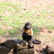 Capuchin breast yellow - Stock Photo