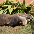 tamandua flag — Stock Photo