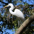 Breeding plumage extended on great white egret sitting on branch — Stock Photo #12409992