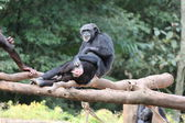 Chimpanzee family — Stock Photo