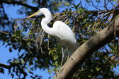 Breeding plumage extended on great white egret sitting on branch — Stock Photo