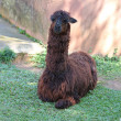 Stock Photo: Brown alpaca