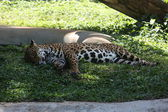Jaguar sleeping — Stock Photo