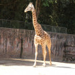 Giraffe walking - Stock Photo