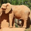 Elephant in zoo — Stockfoto