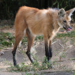 Maned wolf profile — Stock Photo
