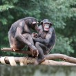 Stock Photo: Monkeys chimpanzees in family