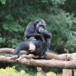Stock Photo: Chimpanzee family