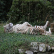 White tiger lying down with legs up - Stock Photo