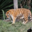Stock Photo: Siberian tiger walking