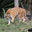 Siberian tiger walking - Stock Photo