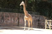 Giraffe walking — Stock Photo
