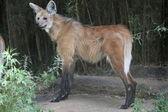 Maned wolf profile — Stock Photo