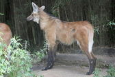 Maned wolf profile — 图库照片