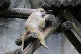 Yellow baboon — Stock Photo