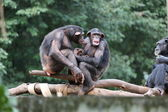 Monkeys chimpanzees in family — Stock Photo