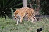 Siberian tiger walking — Stock Photo