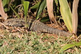 Tegu lizard in its natural habitat — Stock Photo