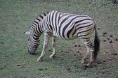 Zebra eating grass — Stockfoto