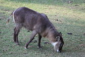 Waterbuck grazing — Stock Photo