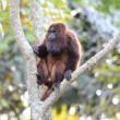 Howler monkey in the tree branch — 图库照片