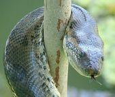 Anaconda — Stock Photo