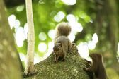 Squirrels — Stock Photo