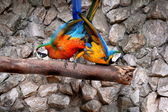 Pair of macaws — Stock Photo
