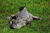 Alligator chat yellow — Stock Photo