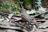 Rufous-bellied Thrush — Stock Photo